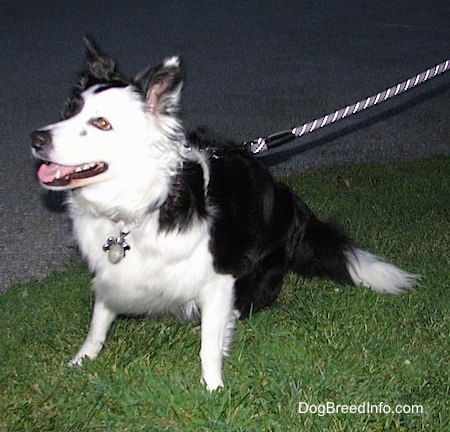Zoey the Border Collie sitting outside in grass at night on a leash with its mouth open and looking into the distance