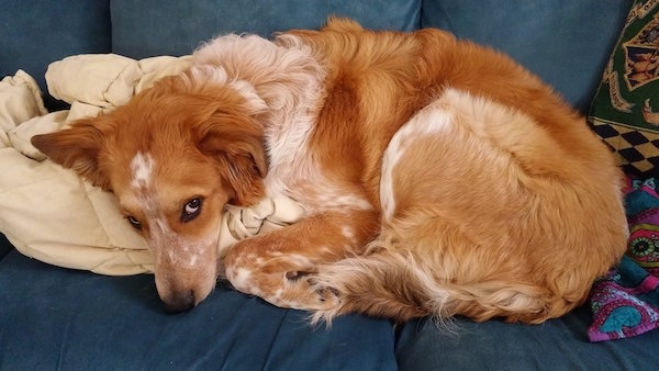 A medium-haired, red with white Labrador/Border Collie mix is laying down curled up on a blue couch.