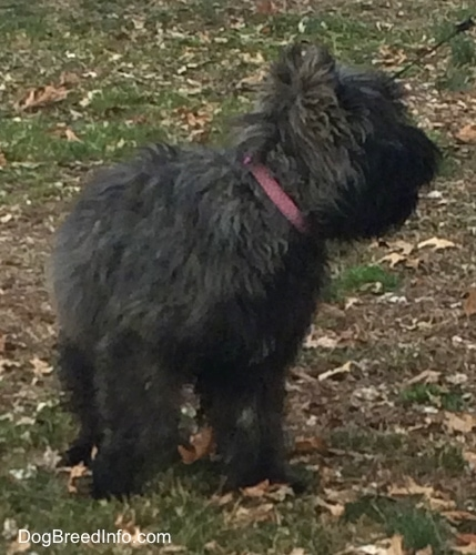 Molly the Bouvier des Flandres looking over to the person holding his leash