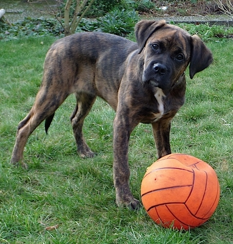Nible the Boxador standing outside in front of a flat orange volleyball and its head is tilted to the left