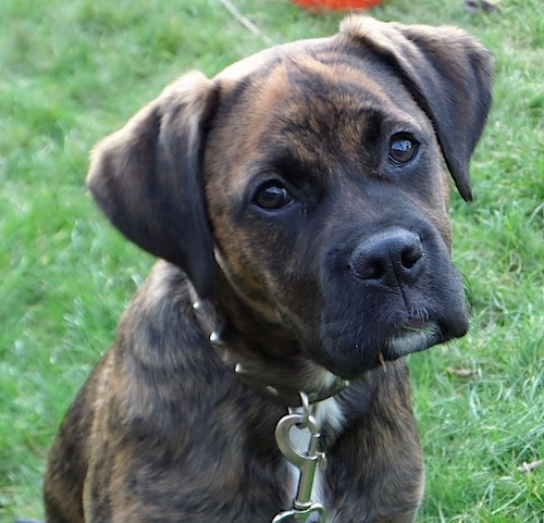 Boxador Dog Breed Information and Pictures