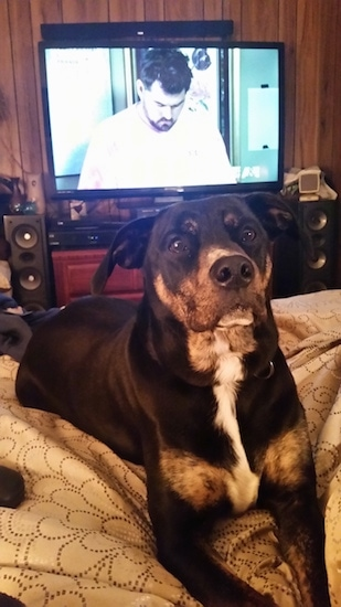 Harley the Boxador laying on a bed with a flat screen TV playing in the background
