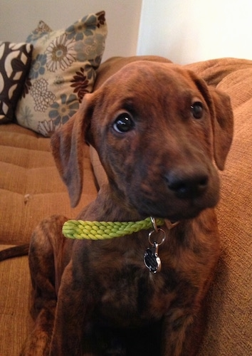 A brown brindle Boxerman puppy is sitting against the back of a couch and there are pillows behind it. Its head is slightly tilted to the left.