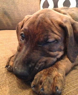 Close up - A brown brindle Boxerman puppy is laying down across a couch with one eye open.