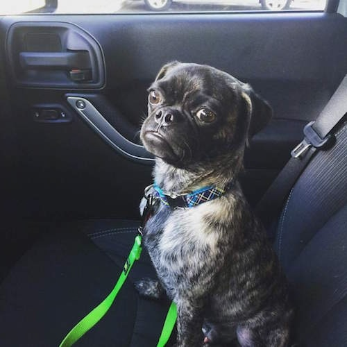 Jake the Buggs sitting in the front seat of a car with a bright green leash snapped to his collar