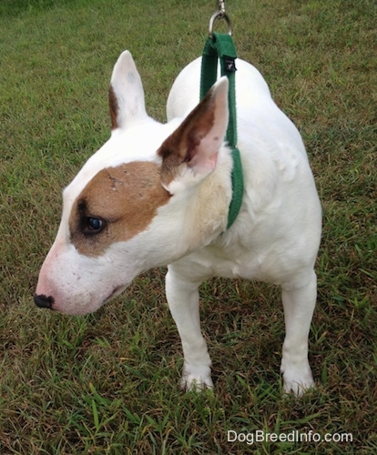 Herbert the Bull Terrier standing outside in grass wearing a green collar with his head turned to the left