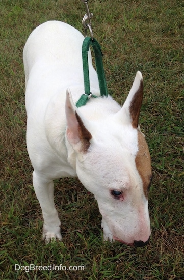 Herbert the Bull Terrier standing outside while on a leash looking down sniffing the grass