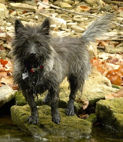 Bonnie the Cairn Terrier is standing on a mossy rock that is in a small stream with other rocks behind her