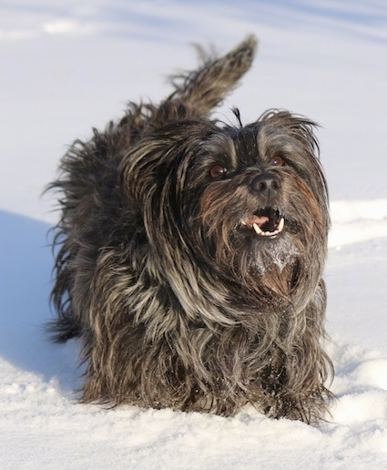Bonnie the Cairn Terrier is standing in snow and looking up with its mouth open