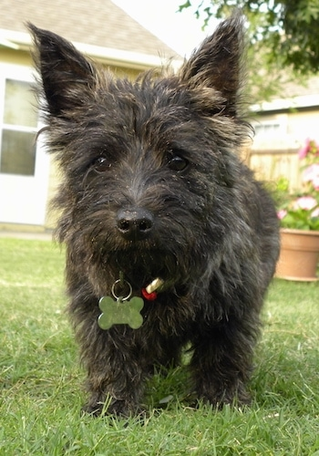 Bonnie the Cairn Terrier as a Puppy is standing outside in front of a house and walking towards the camera holder with an outdoor flower pot on the ground in the background