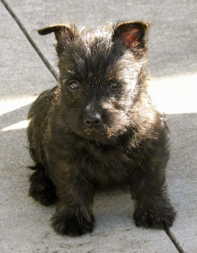 Bonnie the Cairn Terrier as a Puppy sitting on a crack on a sidewalk