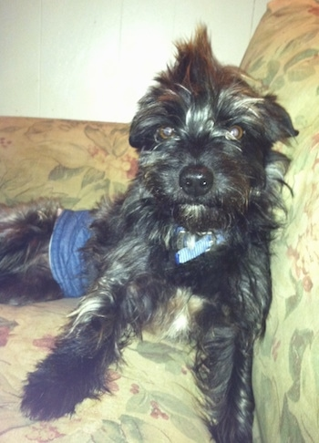 Scottie the Cairn Terrier is laying on a couch and he is wearing a blue band around his lower end
