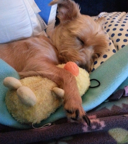 Desmosedici the Carkie sleeping on a bed with its paw over a plush duck toy
