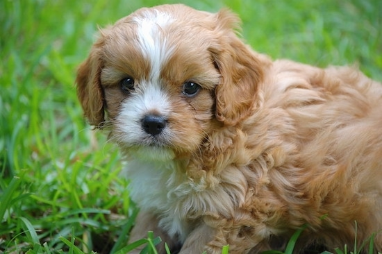 Cavapoo puppy from Ayers Pamperedpets