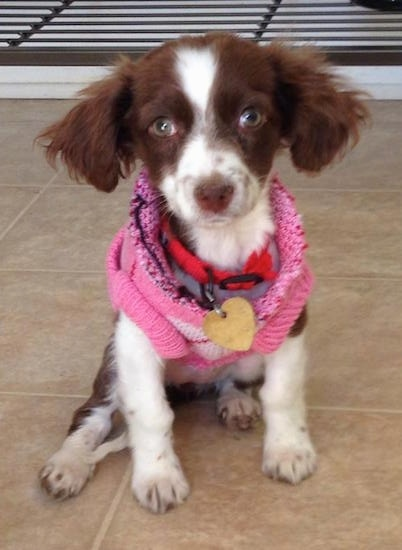 Ripley the Chi-Spaniel as a puppy is wearing a pink sweater and sitting on a tan tiled floor