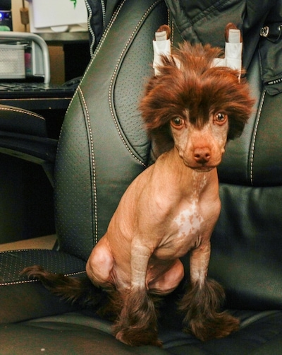 Sisko the brown Chinese Crested Puppy is sitting in a  black leather computer chair. Its ears are taped up