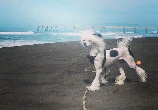 Sofia Bianca the Chinese Crested Dog is standing on a beach and the wind is blowing her hair