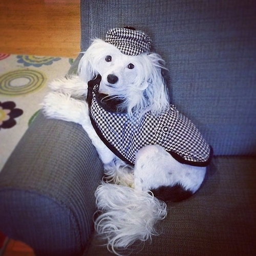 Sofia Bianca the Chinese Crested is wearing a black and white plaid detective hat and coat. Sofia Bianca is leaning against the arm of a chair and looking at the camera holder