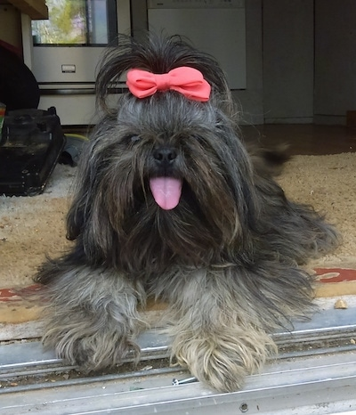 Izzy the Chinese Imperial Dog is laying inside of an open doorway facing the outside with its mouth open and tongue out. There is a red ribbon in her hair