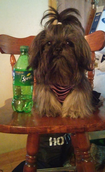 Izzy Bitsy Roberts the Chinese Imperial Dog is sitting in a wooden kitchen chair and there is a plastic bottle of Sprite next to it