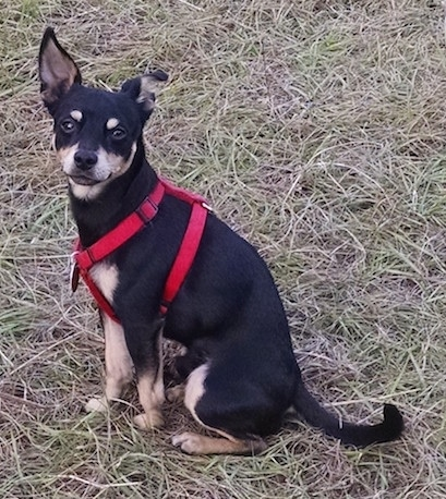 List Of Chihuahua Mix Breed Dogs