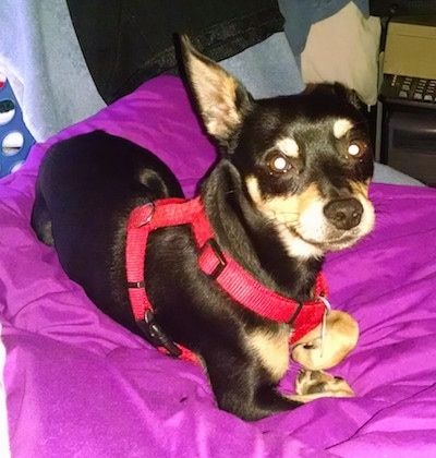 Roscoe the black and tan Chipin is laying on a bright violet blanket. Roscoe is wearing a red harness and looking back at the camera holder