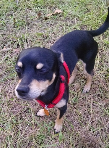 Roscoe the black and tan Chipin is wearing a red harness while standing outside in brown and green grass