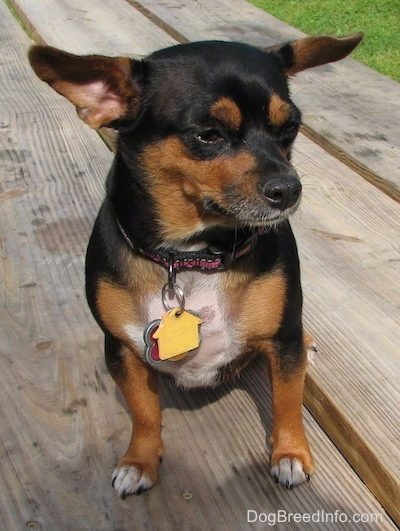 Dolly the black and tan Chiweenie is sitting outside on a wooden picnic table with lots of dog tags on its pink and black collar