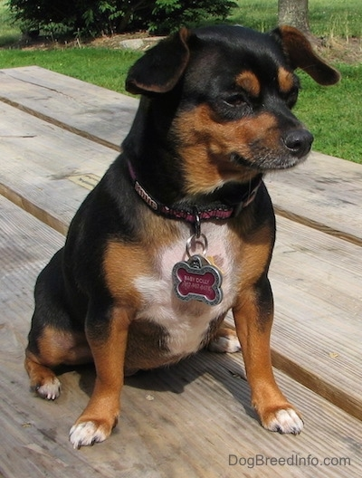 Dolly the black and tan Chiweenie is sitting outside on a wooden picnic table and she is looking to the right