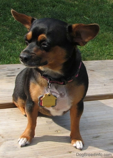 Dolly the black and tan Chiweenie is sitting outside on a wooden picnic table with lots of dog tags hanging from her pink and black collar and looking to the left