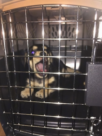 Bandit the Chiweenie is laying in the back of his dog crate and yawning