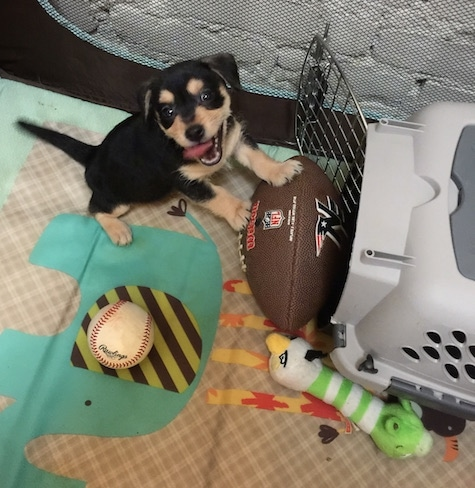 Bandit the Chiweenie puppy is inside of a play area were there is a football, a baseball, an Angry Bird plush toy and a dog carrying crate