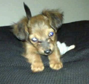 Chewbacca the Chiweenie as a puppy play bowing on a bed next to a white tissue