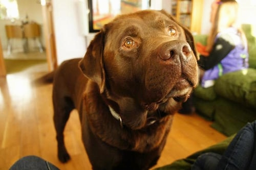 Close Up view from the front with the focal point on the face- A chocolate Labrador Retriever is standing on a hardwood floor in front of a person on top of a couch