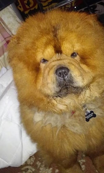 Chow Chow Dog Breed Information and