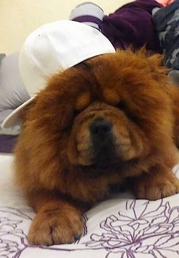 Thor the Chow Chow is laying on a bed. Thor is wearing a hat and the brim of the hat is to the left