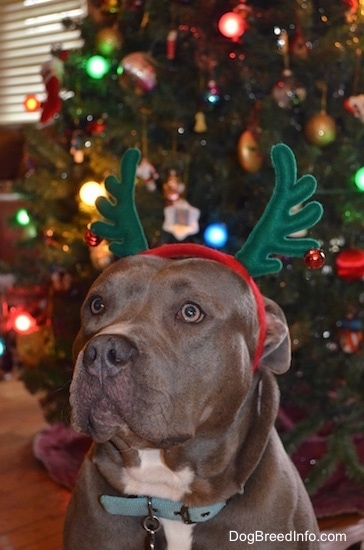 A grey with white American Pit Bull Terrier is wearing a pair of reindeer antlers in front of a Christmas Tree.