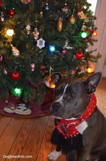 A blue with white American Bully is wearing a red scarf sitting on a hardwood floor in front of a Christmas tree.