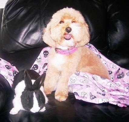 Cinda the Cockapoo is laying on a pink blanket with black and white skulls all over it. There is a black and white rabbit next to her on a black leather couch
