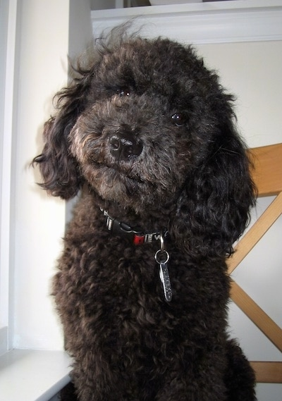 Jett the black Cockapoo sitting in a house next to a white window sill with his head cocked slightly to the side
