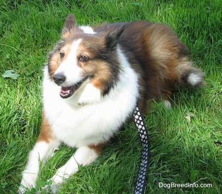 Finley the Collie is laying in grass with a black with white polka dot leash connected to his collar and looking slightly to the left