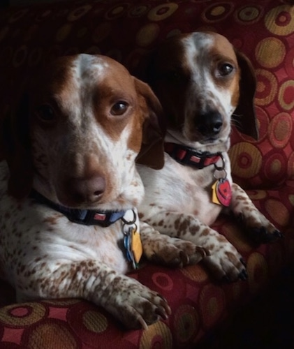 Two brown amd white spotted piebald Dachshunds are laying on a bed ...