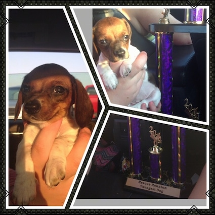 Left Picture - Pickles the White and Brown mini Dachshund as a puppy, A person is holding him in the air. Top Right - Pickles is being held next to a trophy. Bottom Right - A Trophy that says - Rescue Reunion Youngest Dog - at the bottom