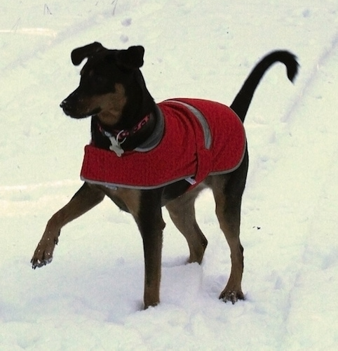 Zephyr the Doberman Shepherd has a paw in the air as he walks through the snow