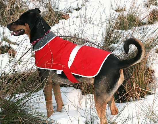Zephyr the Doberman Shepherd is standing in tall grass covered in snow and also wearing a red jacket