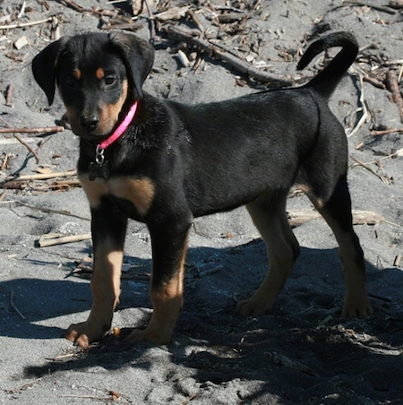 Zephyr the Doberman Shepherd as a puppy wearing a hot pink collar standing in black sand with a bunch of sticks around him.