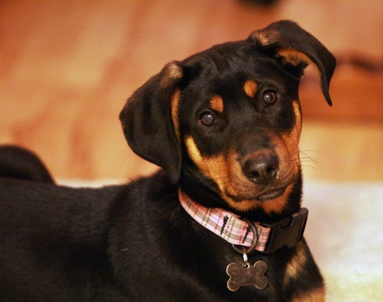 Cerca - Zephyr el pastor doberman de cachorro con un collar a cuadros con una etiqueta de identificación en forma de hueso tumbado en una alfombra y mirando al soporte de la cámara