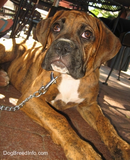 Close Up - Bruno the Boxer as a puppy is laying on a brick ground and looking up