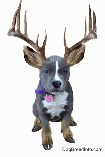 Photoshopped picture of a black with white American Bully with elk ears, feet and antlers