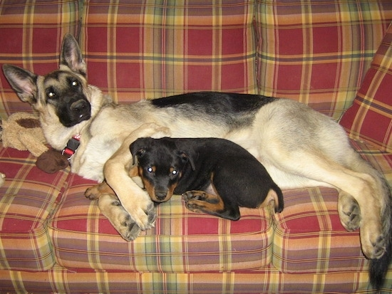 Scotty the German Shepherd with Wolfe the Rottweiler as a puppy cuddling together on a couch